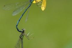Jean-Marc-tandem-de-petites-libellules