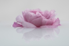 Pascale-rose-rose