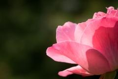 Sandra-variation-autour-dune-rose